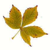 Yellowed leaves of chestnut on a white background — Stock Photo