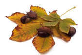 Chestnuts with shell on the yellow leaves on white background — Stock Photo