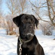Black Labrador Retriever - Stock Photo