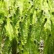 Green leaves of wild young fern for background — Stock Photo