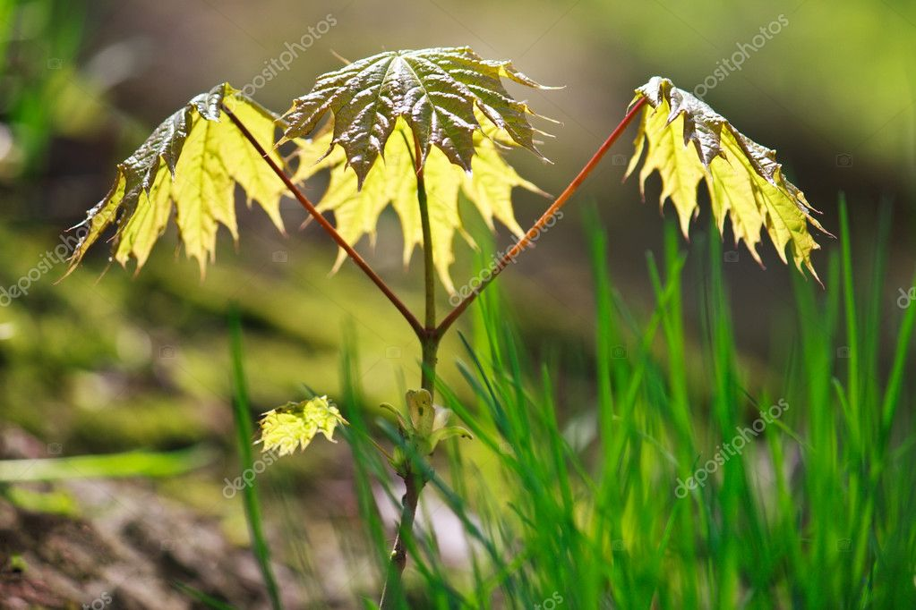 Growing young maple tree in spring (Acer ptalonoides) — Stock Photo #4178594