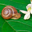Garden snail on a leaf with acacia flowers — Stock Photo