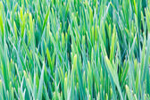 Reeds on the bank of lake for floral background — Stock Photo