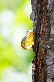 Amber yellow resin drop from queen-apple tree (Cydonia) — Stock Photo