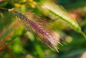 Spikelet of the grass lit by the evening sun for floral background — Stock Photo