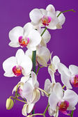 Closeup of a beautiful white orchid flowers — Stock Photo