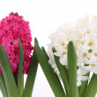 Pink and white hyacinth - Stock Photo
