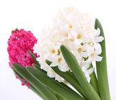 Pink and white hyacinth — Stock Photo