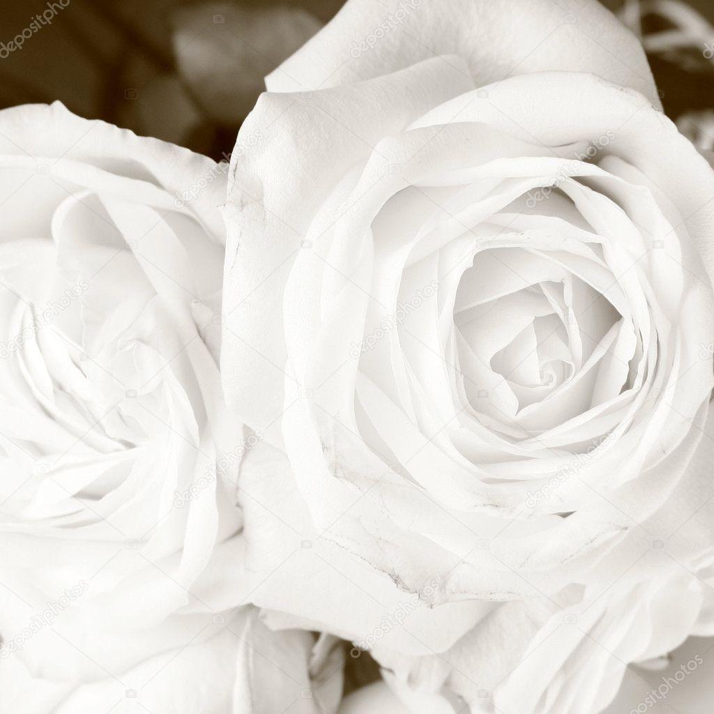 White roses in sepia - 5185979