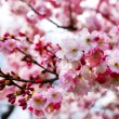 Japanese cherry blossom — Stock Photo #5105523