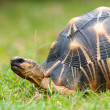 The radiated tortoise - Stock Photo