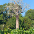Madagascar Baobab — Stock Photo #5195997