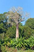 Madagaskar baobab — Stockfoto