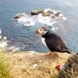 Puffin on the rock - Latrabjarg, Iceland — Stock Photo #4296361
