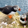Stock Photo: Puffins on the rock - Latrabjarg, Iceland