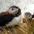 Two puffin on the rock - Latrabjarg, Iceland — Stock Photo