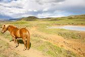 Wild horse - Iceland — 图库照片