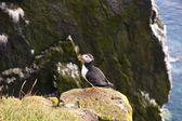 Latrabjarg - Iceland. Puffin on the rock — Stock Photo