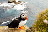 Colorful puffin in latrabjarg - Iceland — Stok fotoğraf