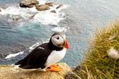 Färgglada lunnefågel i latrabjarg - island — Stockfoto