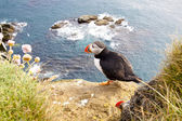 Puffin on the rock - Latrabjarg, Iceland — Стоковое фото