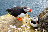 Puffins on the rock - Latrabjarg, Iceland — Stock Photo