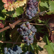 Stock Photo: Mellow blue grapes