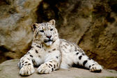 Snow Leopard Irbis (Panthera uncia) looking ahead — Stock Photo