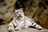 Snow Leopard Irbis (Panthera uncia) looking ahead — Stock Photo