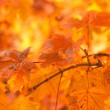 Orange autumn leaves background with very shallow focus — Stock Photo