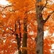 Autumn tree orange scenery in park — Stock fotografie #4146928
