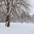 Snowy Oak Tree — Stock Photo