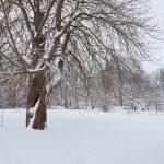 Snowy Oak Tree — Stock Photo