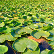 Lilypads — Stock Photo