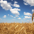 Field of yellow wheat and cloud in the sky — Stock Photo