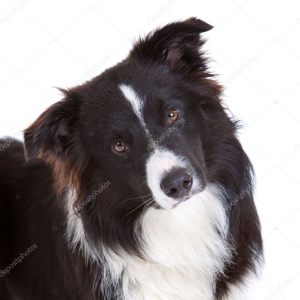 Beautiful young border collie on white background — Stock Photo #4174824