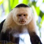 Angry capuchin monkey — Stock Photo #5069816