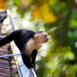Stock Photo: White faced capuchin monkey