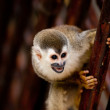 Squirrel monkey with mouth open — Stock Photo
