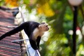 White faced capuchin monkey — Stock Photo