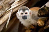 Squirrelmonkey — Foto Stock