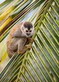 Squirrel monkey — Stok fotoğraf