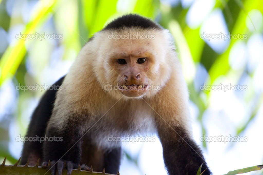 Buy a capuchin monkey online dating 1