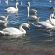 Swans swimming — Stock Photo
