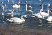 Swans swimming — Stock Photo