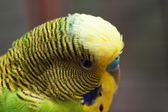 Australian Green Parrot macro 3 — Stock Photo