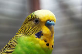 Australian Green Parrot macro 2 — Stock Photo
