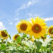 Sunflower with blue sky — Stock Photo #4180769