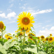 Stock Photo: Big sunflower in blue sky