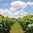 Stock Photo: Road in sunflower field